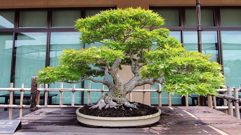 bonsai tree image