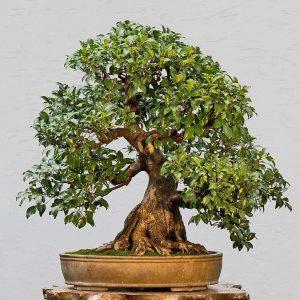 bonsai-plants-online-in-india