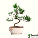 Beautiful Buddhis Pine bonsai tree