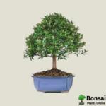 Brush Cherry bonsai tree