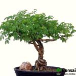 Acacia bonsai tree