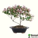 Indian Hawthorn bonsai tree
