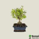 Chinese Sweet Plum bonsai tree