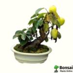 Mango bonsai tree