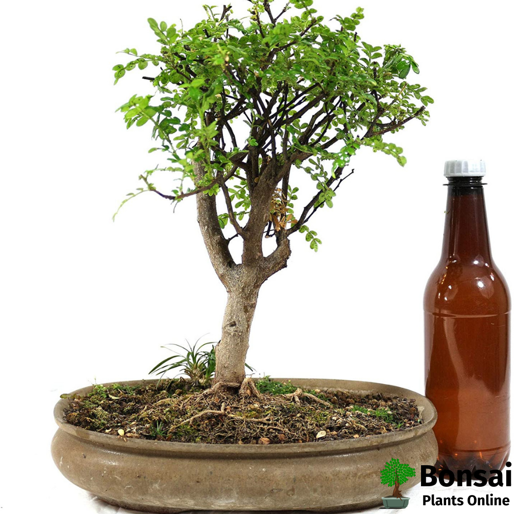 Chinese Pepper bonsai tree for indoors