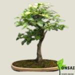 Get the beautiful European Beech bonsai