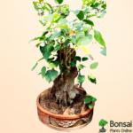 Get the 15 years old sacred Peepal tree bonsai