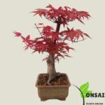 Get the dward Red Maple bonsai