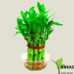 Get the 2 layered lucky bamboo bonsai