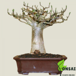 Get the Baobab bonsai