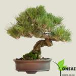 Get the Pine bonsai tree