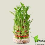 Get the 7 layered lucky bamboo bonsai