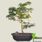 Get the Brazilian Rain Tree bonsai