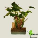 Get the rare Buddha's Ear bonsai