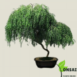 Get the beautiful Weeping Willow bonsai