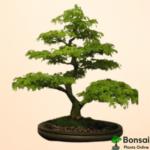 Get the beautiful Brazilian Rain Tree bonsai