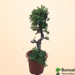 Get the beautiful 12 years oldJade bonsai