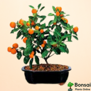 Get tangy fruits with the indoor Orange bonsai