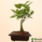 Get the beautiful and sacred Peepal bonsai