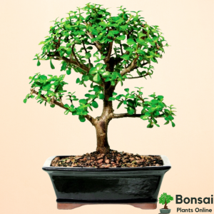 Get the Jade bonsai plant for indoors