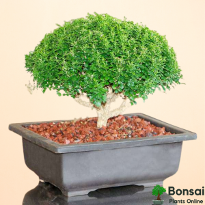 Get the beginner-friendly Boxwood bonsai for your gardens
