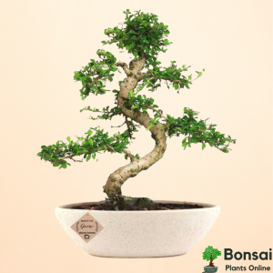 Get the aesthetic and soothing Carmona bonsai