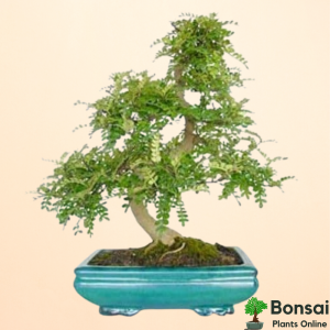 Get the aromatic and fruit-bearing Chinese Pepper bonsai