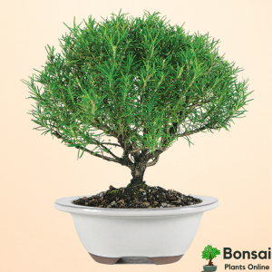 Get the beautiful and herbal Rosemary bonsai plant