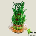 Get the 3 layered lucky bamboo bonsai