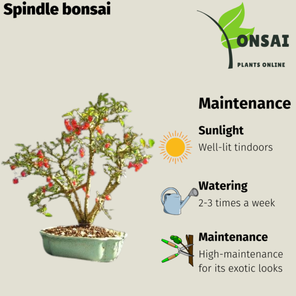 Get the beautiful Spindle bonsai