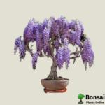Get the Jacaranda bonsai tree