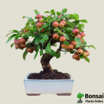 Get the Apple bonsai tree