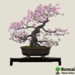 Get the Cherry Blossom bonsai tree