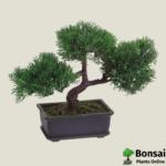 Get the Cedar bonsai tree