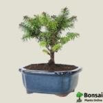 Get the Fir bonsai tree