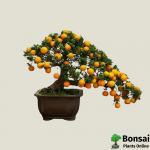 Get the Orange bonsai tree