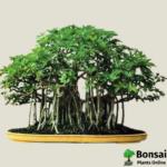 Get the Ficus benghalensis bonsai