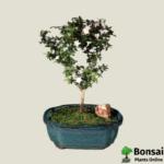 Get the Snow Rose bonsai tree