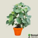 Get the Ficus religiosa bonsai