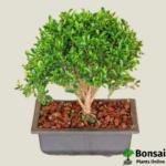 Get the Ficus microcarpa bonsai