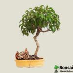 Get the Ficus benjamina bonsai