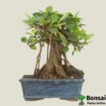 Get the Ficus panda bonsai