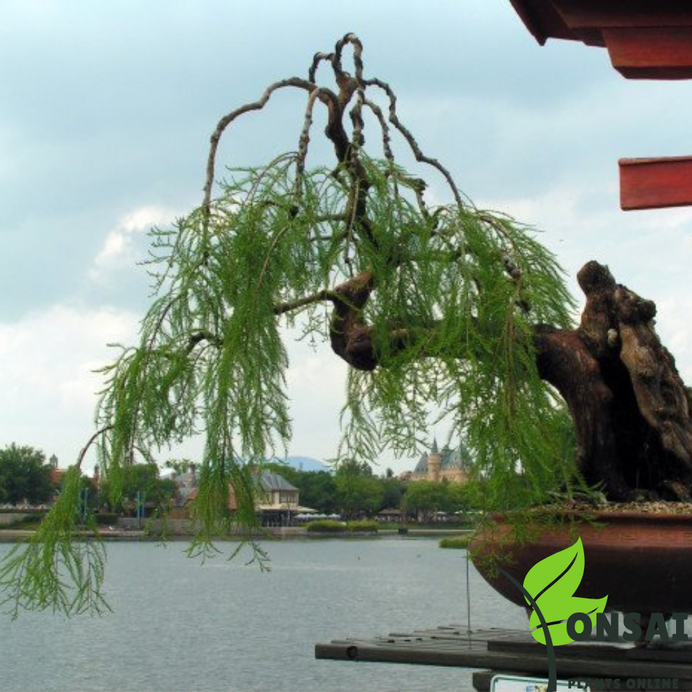 Beautiful Weeping Willow bonsai with gorgeous looks