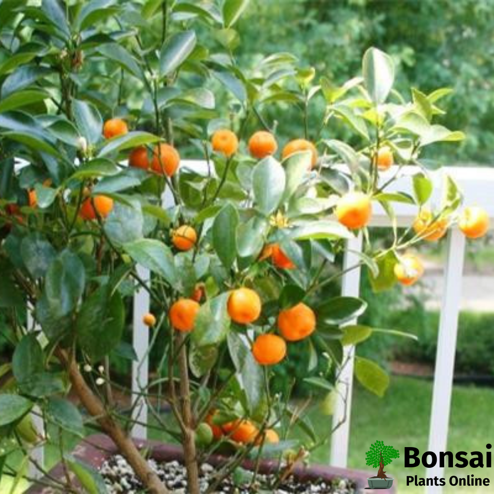 Beautiful Orange bonsai tree for indoors and outdoors