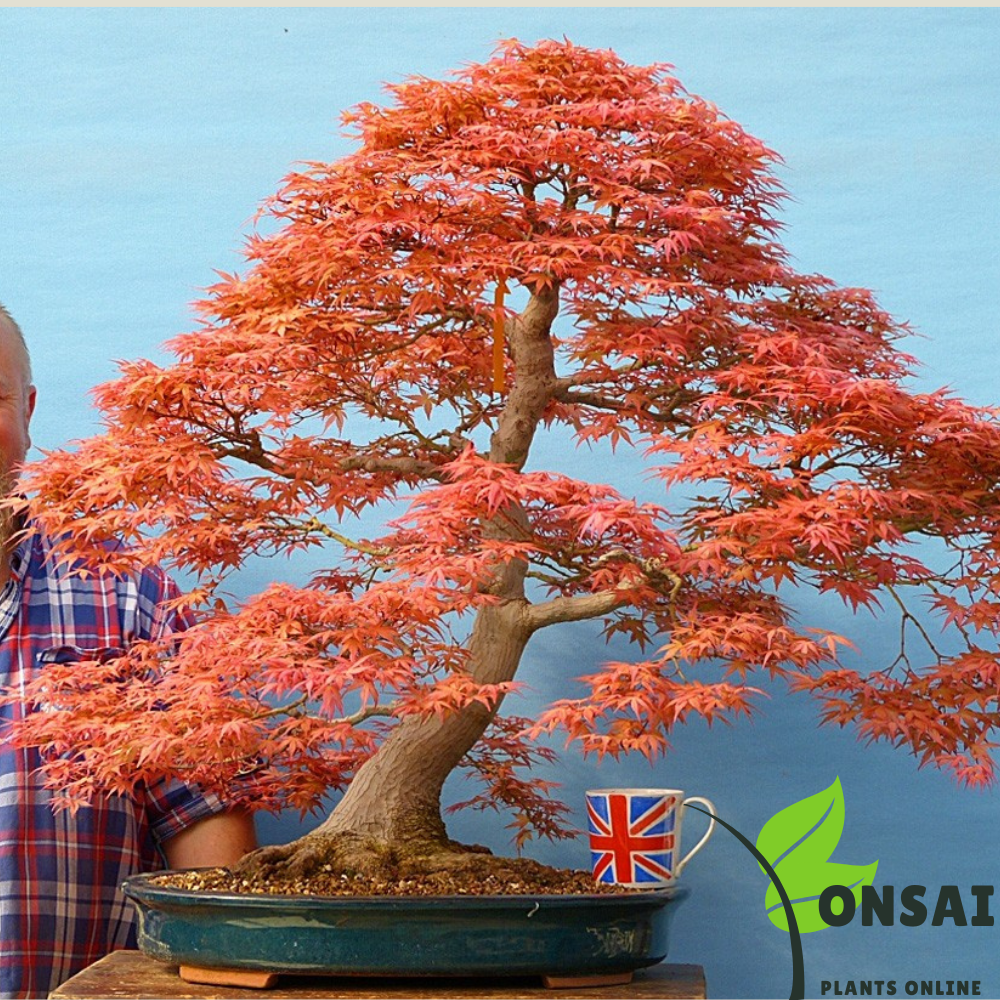 Caring for dwarf Red Maple bonsai