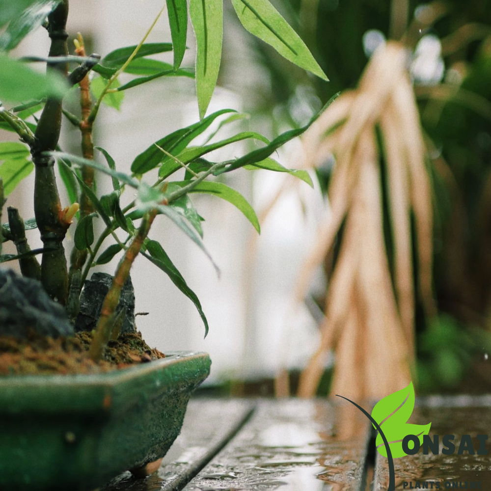 Caring for your straight layer bamboo bonsai