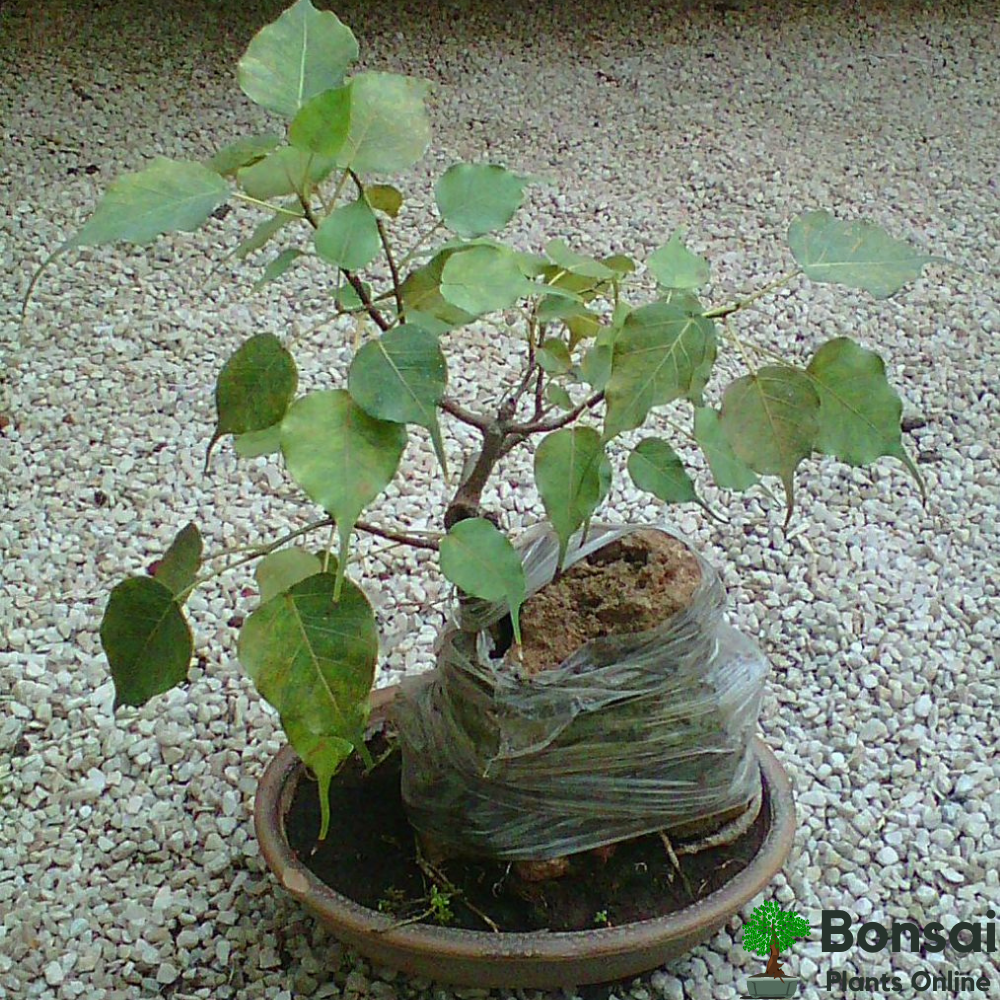Caring for your Peepal bonsai