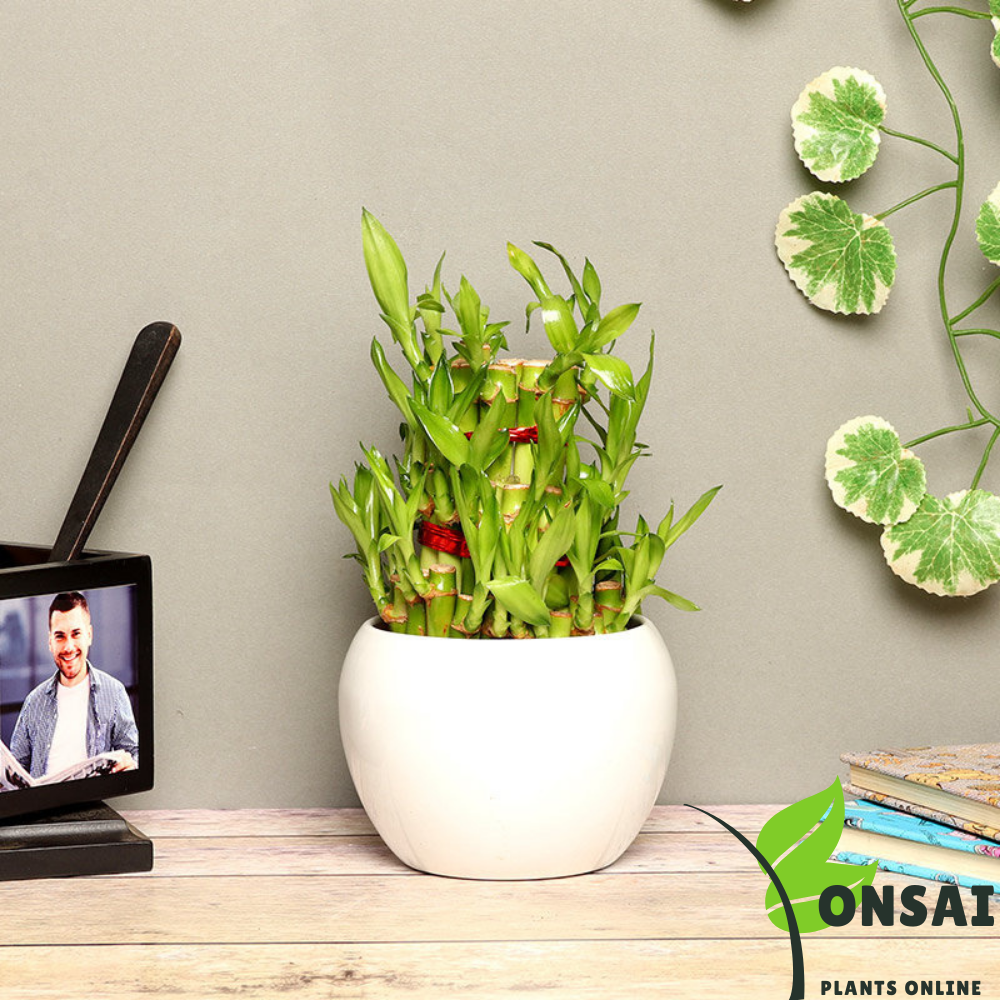 Caring for your 3 layered lucky bamboo bonsai