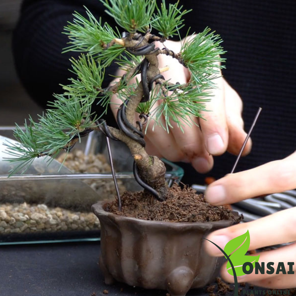 Caring for your Pine bonsai