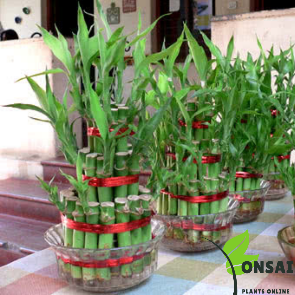 Caring for your 7 layered lucky bamboo bonsai